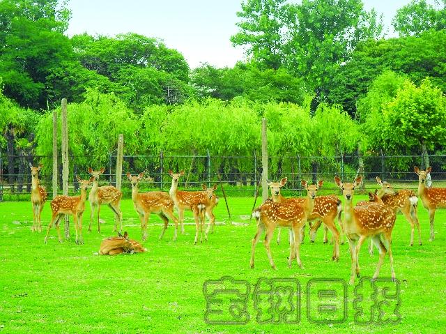 这25头梅花鹿在宝钢厂区内的动物园里安家落户
